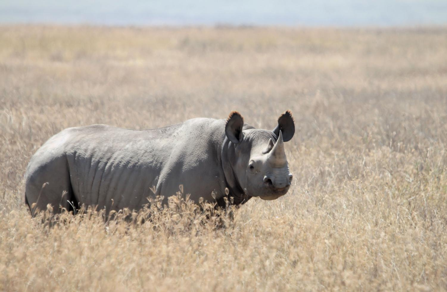 Poaching is a major issue facing the rhinoceros. In Africa, 892 rhinos were poached for their horns in 2018, down from a high of 1,349 killed in 2015.