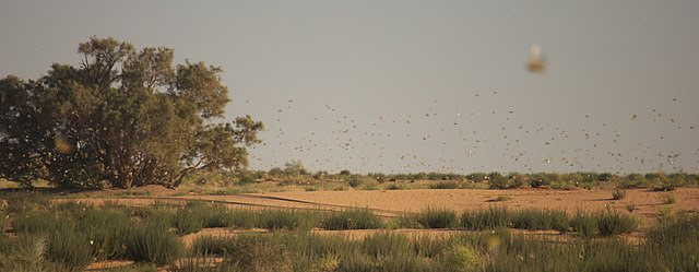 A+swarm+of+desert+locusts+in+the+East+African+savanna.+Desert+locusts+live+for+about+three+months.+After+a+generation+matures%2C+the+adults+lay+their+eggs+which%2C+under+the+right+conditions%2C+can+hatch+to+form+a+new+generation+up+to+20+times+larger+than+the+previous+one.+The+Food+and+Agriculture+Organization+%28FAO%29+said+%E2%80%9Cthe+insects+are+breeding+so+fast+that+numbers+could+grow+500+times+by+June.%E2%80%9D